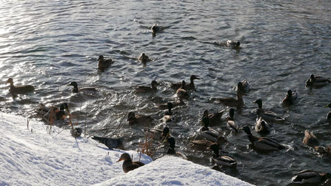 Ducks on the snow and in the water. 4K Stock Video Footage
