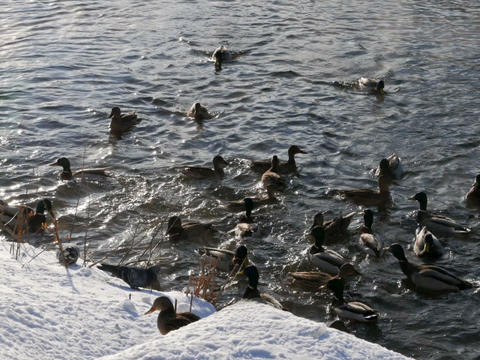 Ducks on the snow and in the water. 640x480 Stock Video Footage