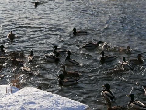 Ducks on the snow and in the water. 640x480 Footage