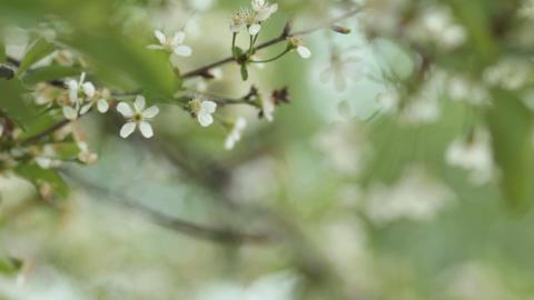 Cherry trees blooming in spring. Nature awakening. Fruit... Stock Video Footage