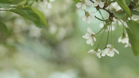 Cherry trees blooming in spring. Nature awakening. Fruit garden in blossom Footage