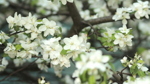 Apple trees blooming in spring. Nature awakening. Fruit... Stock Video Footage