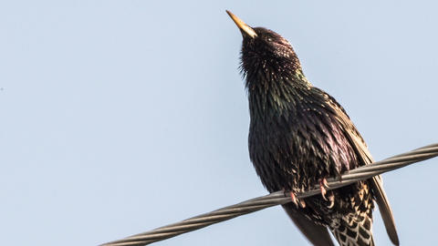 Starling Stock Video Footage