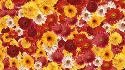 Gerbera Transition Stock Video Footage