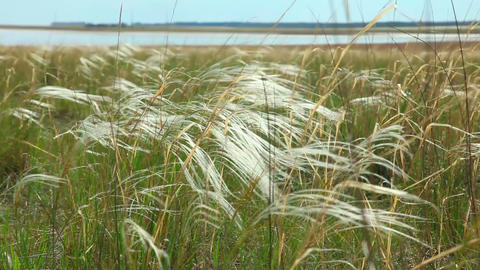Feather grass Stock Video Footage