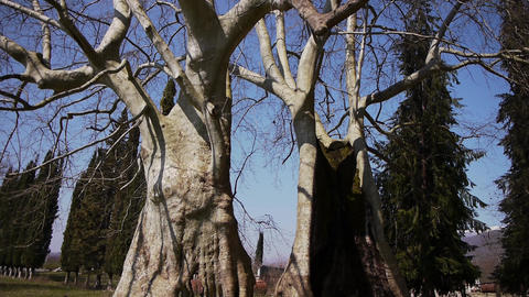 Giant Sycamores in Early Spring Season 2 Footage