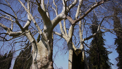 Giant Sycamores in Early Spring Season 2 Stock Video Footage