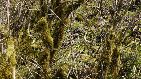 Moss on Trees in Mountain Gorge 1 Stock Video Footage