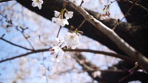 Sakura03 Stock Video Footage