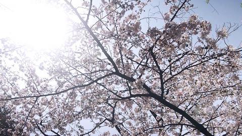 Sakura01 Stock Video Footage