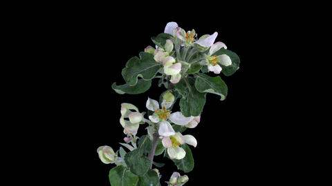 Time-lapse of blooming apple branch with ALPHA Stock Video Footage