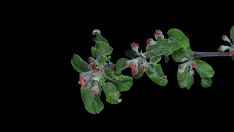 Time-lapse of blooming apple branch with ALPHA, vertical Stock Video Footage