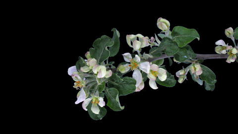 Time-lapse of blooming apple branch with ALPHA, vertical Footage