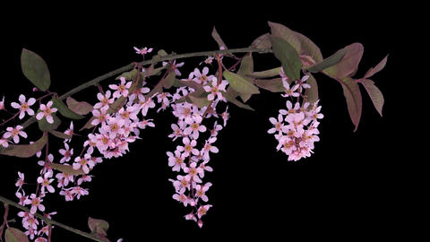 Time-lapse of blooming bird cherry branch with ALPHA Footage