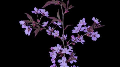 Time-lapse of blooming pink sakura branch in RGB + ALPHA... Stock Video Footage