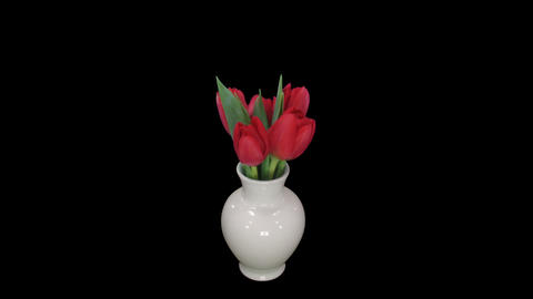 Time-lapse of opening red tulips in vase, with ALPHA Stock Video Footage
