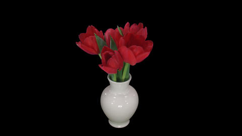 Time-lapse of opening red tulips in vase, with ALPHA Footage