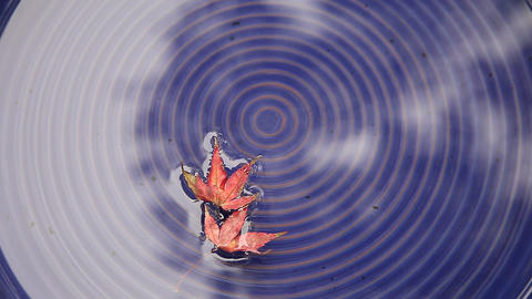 floating maple leaves Stock Video Footage