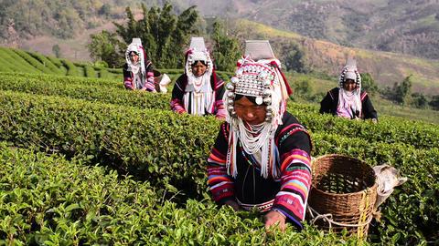 Akha Tea Pickers stock footage