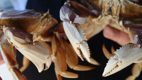 two live Dungeness crabs Stock Video Footage