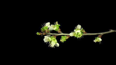 Time-lapse of blooming plum tree branch with RGB + ALPHA... Stock Video Footage