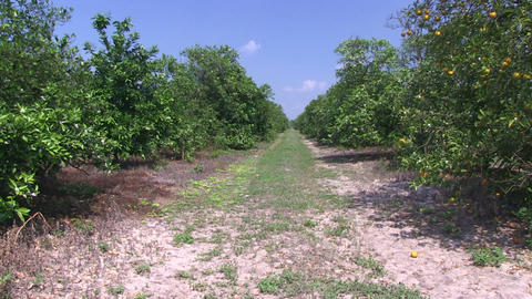 Orange grove Stock Video Footage