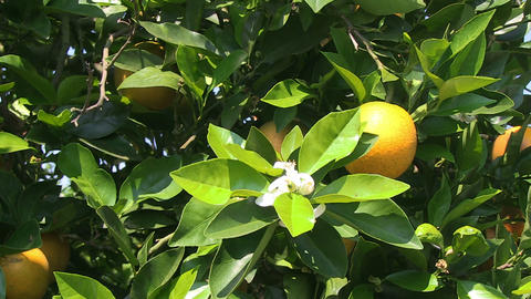 Oranges on a tree Footage