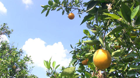 Healthy Oranges Footage