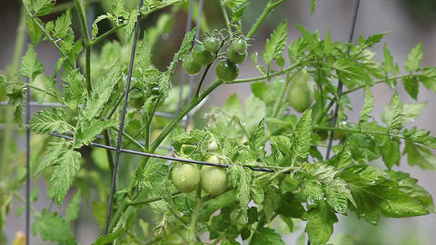 growing cherry tomatoes Stock Video Footage