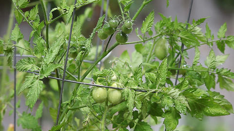 growing cherry tomatoes Footage
