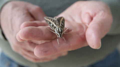 sphinx moth on hand Footage