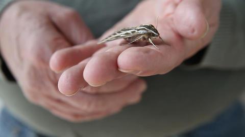 sphinx moth on hand Stock Video Footage