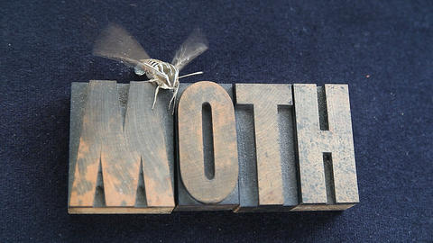 Sphinx Moth On Old Wood Type Word stock footage