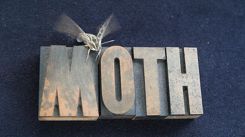 sphinx moth on old wood type word Stock Video Footage