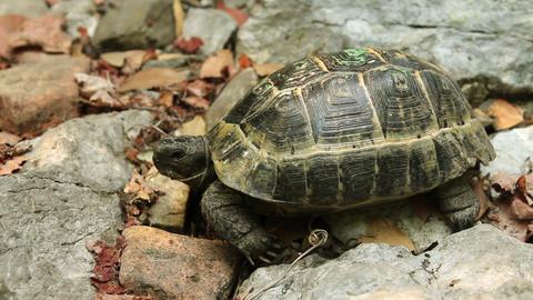 Single Turtle Stock Video Footage