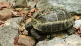 Single Turtle stock footage
