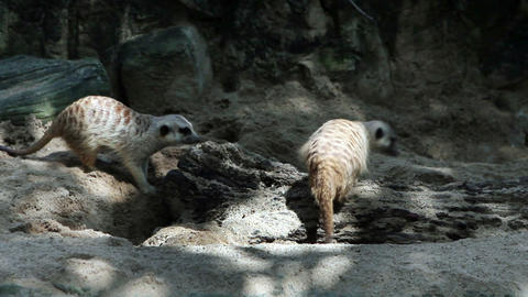 Meerkats in nature Stock Video Footage