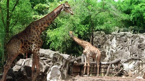 Giraffe couple Stock Video Footage