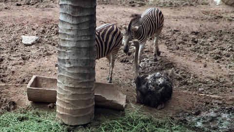 Ostrich Bird with Zebra Stock Video Footage