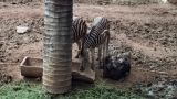 Ostrich Bird with Zebra Footage
