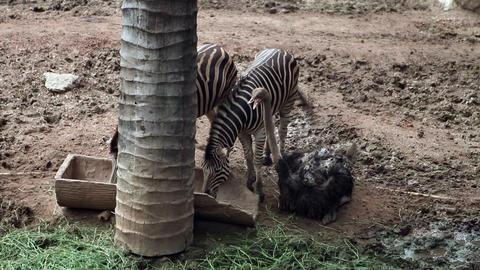 Ostrich Bird with Zebra Stock Video Footage