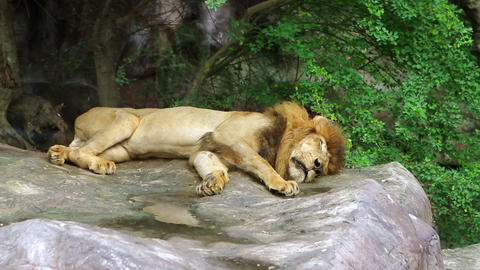 Sleeping Lion Stock Video Footage