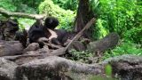 Black Bear Resting stock footage