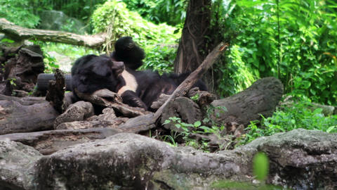 Black Bear resting Stock Video Footage