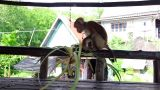 Funny monkey Footage