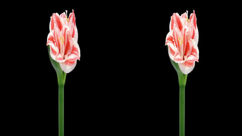 Stereoscopic 3D time-lapse of opening amaryllis Superstar... Stock Video Footage