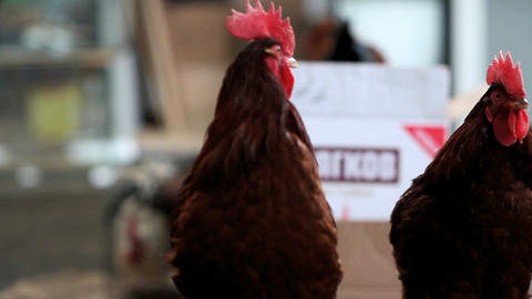 red rooster Stock Video Footage