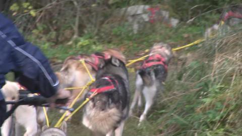 Dog sledding Footage