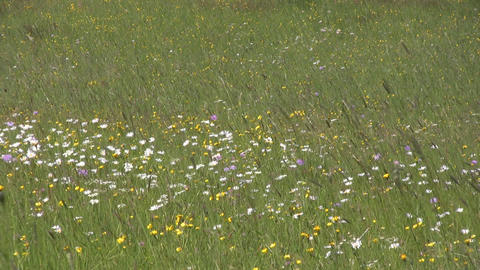 Meadow in the Alps Stock Video Footage