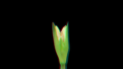 Stereoscopic 3D time-lapse of opening amaryllis Minerva 1... Stock Video Footage